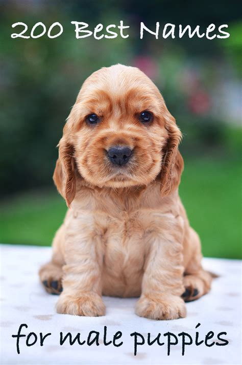 puppy names for males best names 200 great ideas for naming boy puppies