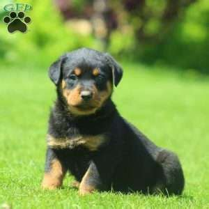 rottweiler puppies for sale denver rottweiler puppies for sale in pa