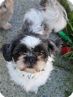 shih tzu rescue bc surrey bc shih tzu maltese mix meet a for adoption http www