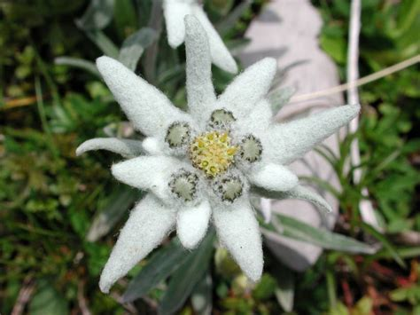 wallpaper bunga edelweis bunga keabadian edelweis dan mitosnya aenze blog