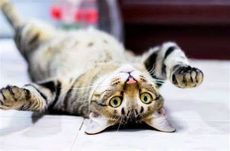 8 Ways Your Cat Shows It You by 8 Ways Cats Say I You Pawculture