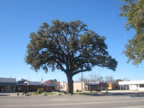 Tree Tx File Oak Tree In Pleasanton Tx Img 2618 Jpg Wikimedia