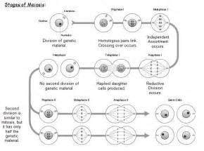 Name the stages of meiosis meiosis stages video myideasbedroom com