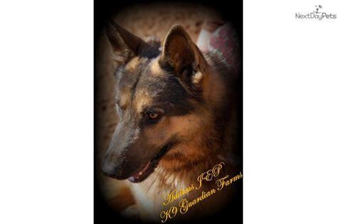 german shepherd puppies for sale in richmond va german shepherd puppy for sale near richmond virginia 506984fa e331