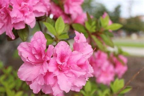 New Azalea plant an azalea in new hanover county parks to help kick this year s festival port city