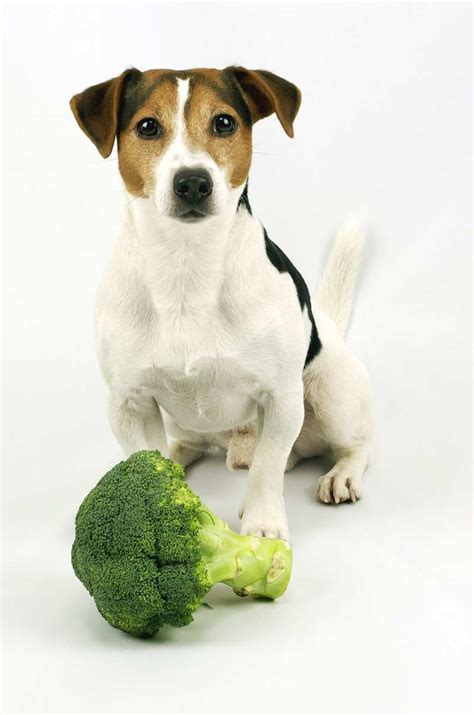 can dogs eat broccoli can dogs eat broccoli the labrador site