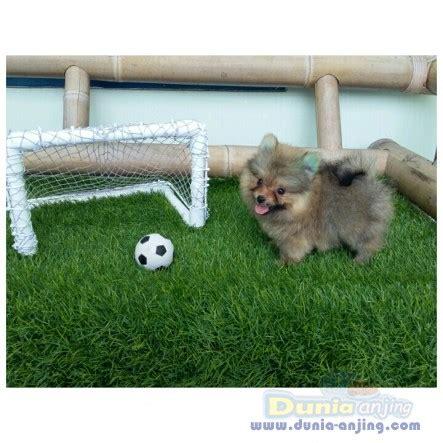 Anjing Minipom Stambum dunia anjing jual anjing pomeranian sale minipom stambum