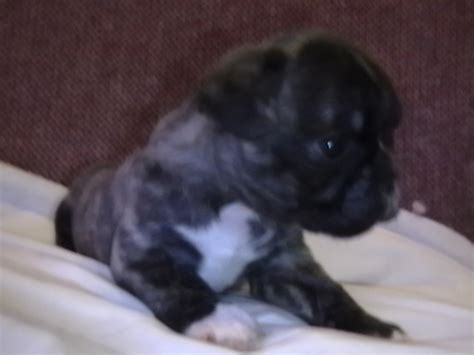 frenchie pug puppies for sale puppies for sale frenchie pugs