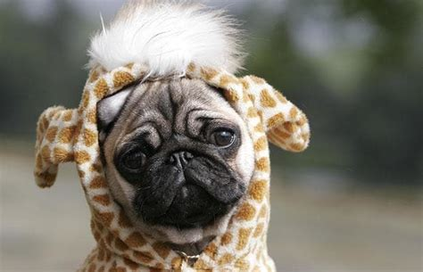 pug fancy dress pictures of the year cats dogs and animals telegraph