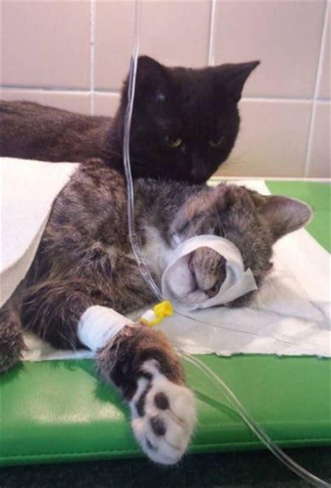 how to comfort a sick cat nurse cat comforts sick animals at polish animal shelter