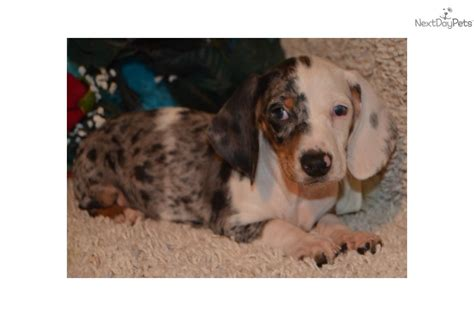 dapple dachshund puppies for sale near me dachshund mini puppy for sale near colorado springs colorado 0d4d6cf3 72e1