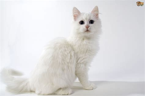 The Turkish Angora cat  a beautiful longhaired companion