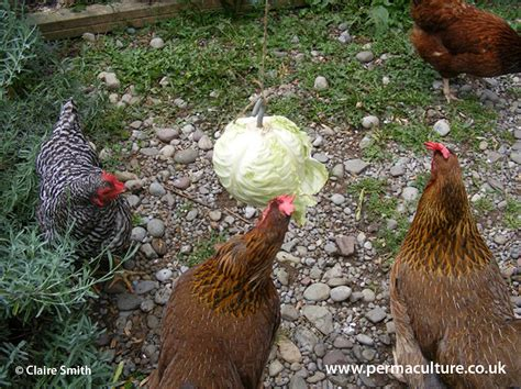 keeping chickens in the winter permaculture magazine