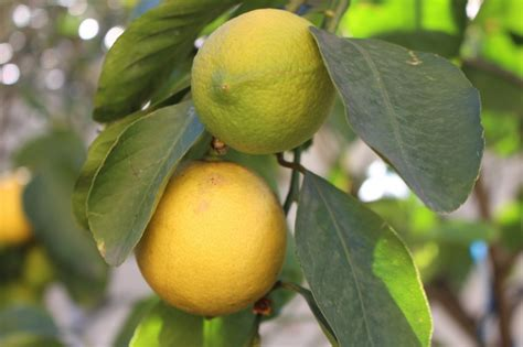 limone coltivazione e cura