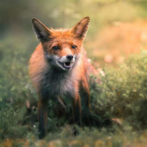 fox  capture  diverse personalities   wild animals
