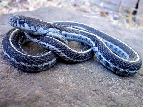 Garter Snake Oregon by Western Terrestrial Garter Snake Bi468 568 Hibians