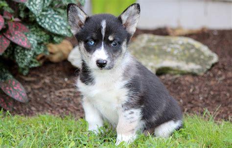 corgi husky mix puppies siberian husky corgi mix a breed to be real