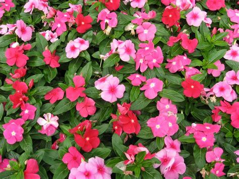 Bunga Vinca Casade Mixed 20 best images about vinca periwinkle on cherries front flower beds and log houses