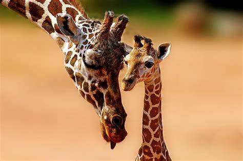 imagenes de jirafas con reflexion jirafas donde y cuanto viven las jirafas y cuanto miden