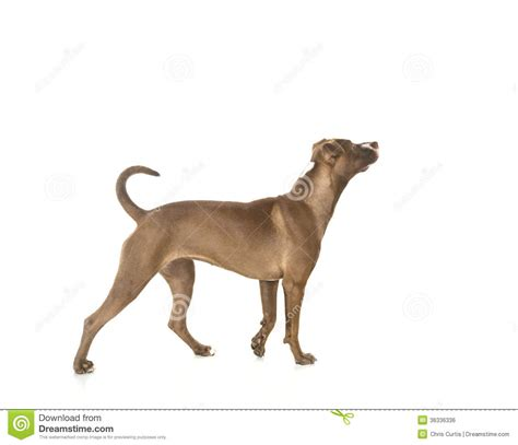 puppy profile standing profile isolated on white royalty free stock image image 36336336