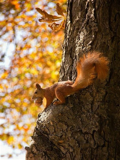 animal seasons squirrels autumn jingfenhwu s random finds squirrel fall autumn tree animal cosy autumn trees