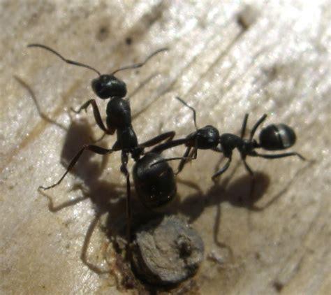 file laminate image jpg wikimedia commons file lasius niger attacking formica fusca jpg wikimedia