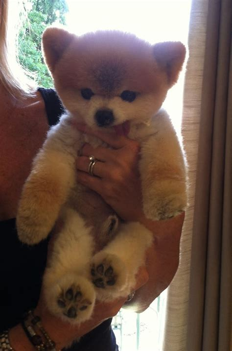 pomeranian puppies teddy cut best 25 pomeranian haircut ideas on pomeranian hairstyles pomeranian