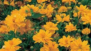 Anthurium Flower Gardening Australia Plant Profile Cosmos