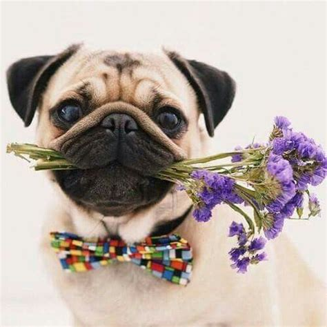 pug date pug dates and flower on