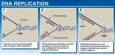dna replication process diagram cells at skool with mrs johns