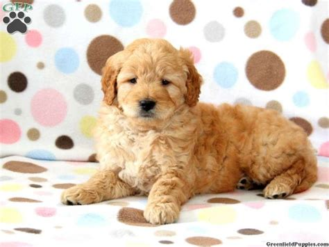 goldendoodle puppy mills 39 best images about mini goldendoodles on