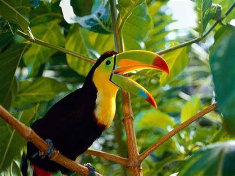 toucan facts interesting facts
