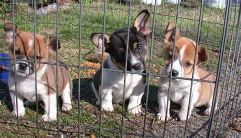 cojack puppies cojack corgi x mix info temperament puppies pictures