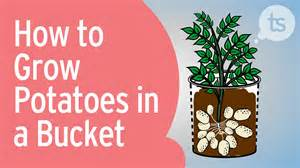 how to grow potatoes in a bucket youtube