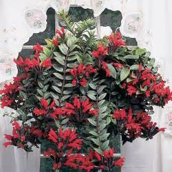 lipstick plant aeschynanthus radicans logee s tropical plants