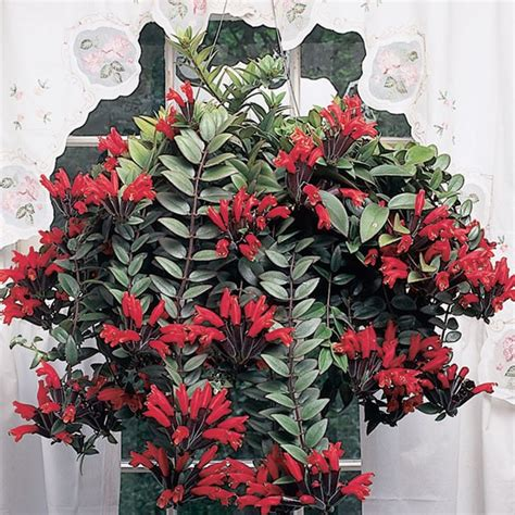 lipstick plant aeschynanthus radicans logee s tropical
