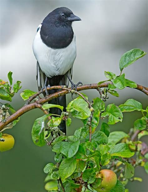 25 best ideas about eurasian magpie on pinterest magpie
