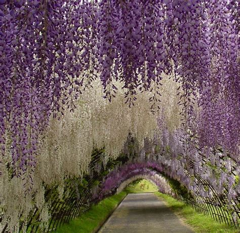 flower tunnel japan earth a wonderful world wisteria flower tunnel in japan