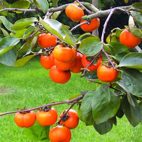 persimmon fruit tree for sale sale 2015 new seed succulent plants persimmon seeds fruit