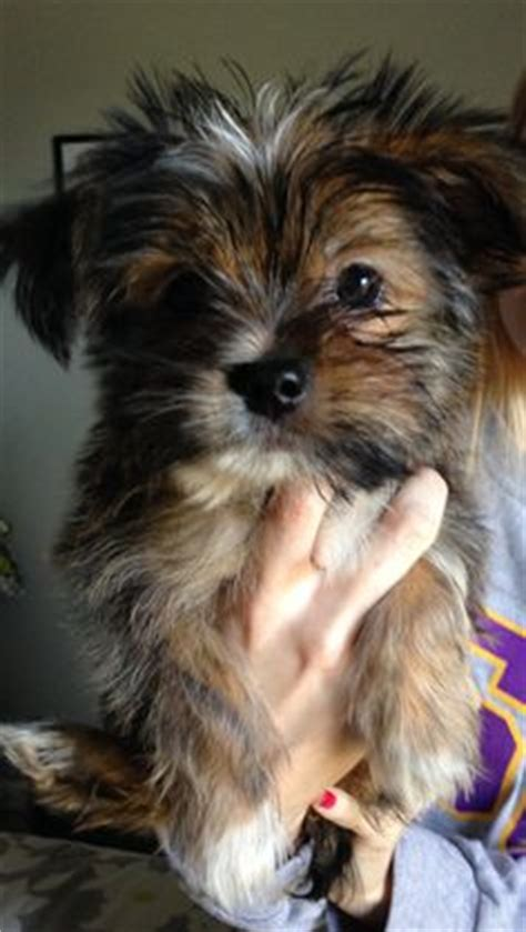 shih tzu yorkie mix hypoallergenic yorkie shih tzu mix looks like my axel mutts see more