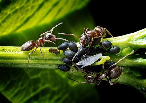 do ants eat aphids how to get rid of aphids zenpype