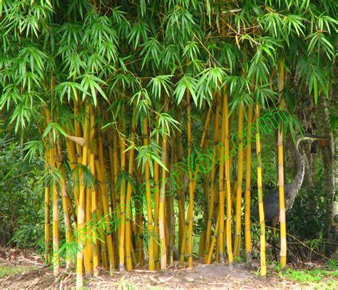 bamboo tree bamboo valance photo