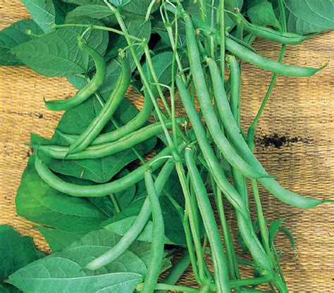 climbing bean plant buy climbing bean phaseolus vulgaris blue lake