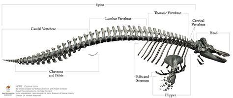 whale skeleton diagram image gallery labeled animal skeleton