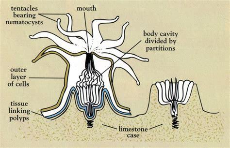 sea anemone diagram http 155 187 3 82 parks images coral diagram