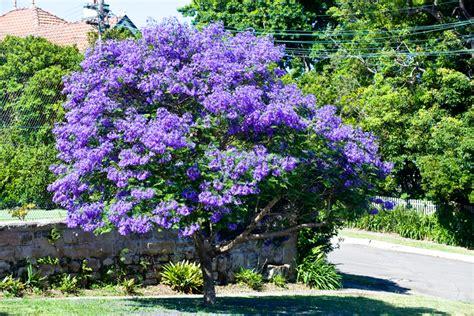 jacaranda trees burke s backyard