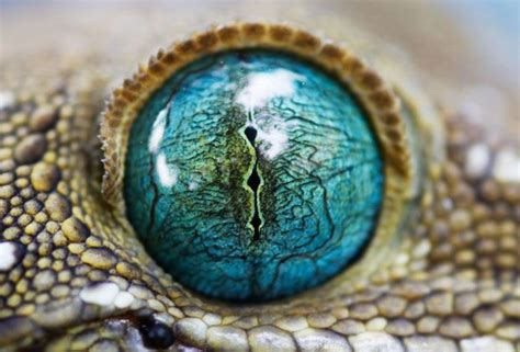 imagenes ojos de reptiles reptile eye macro eye pinterest