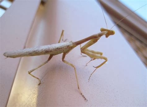 praying mantis change color yellow praying mantis by beautifuldragon322 on deviantart