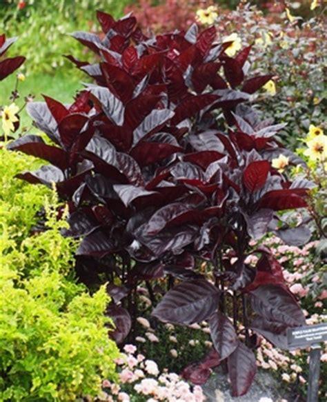 pseuderanthemum atropurpureum black varnish