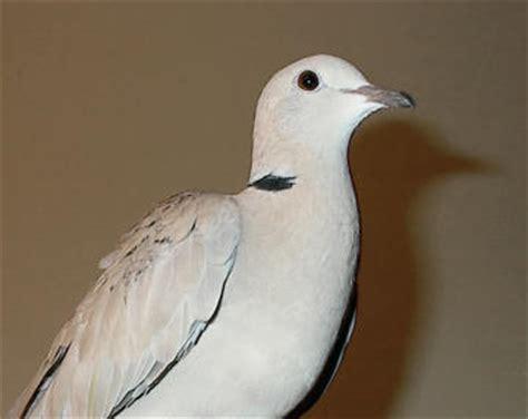 ringneck dove facts pet care behavior diet price